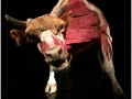 Animaux à corps ouvert - body worlds
